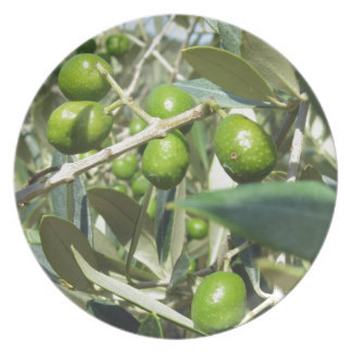 Infested olive tree by olive fruit fly dinner plate