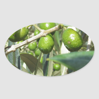 Infested olive tree by olive fruit fly oval sticker
