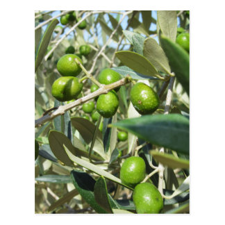 Infested olive tree by olive fruit fly postcard