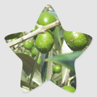Infested olive tree by olive fruit fly star sticker