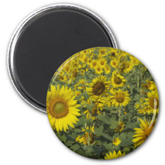 infinite sunflowers magnet