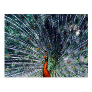 Infra Red Peacock Postcard