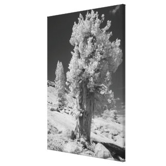 Infrared photo in East side of Yosemite National Gallery Wrap Canvas