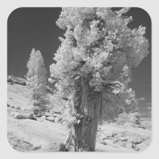 Infrared photo in East side of Yosemite National Square Sticker