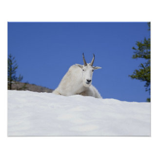 Ingalls Lake area, Billy Goat on snow Poster