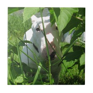 Inglés bull terrier que mira a escondidas a través azulejo cuadrado pequeño