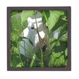 Inglés bull terrier que mira a escondidas a través cajas de recuerdo de calidad