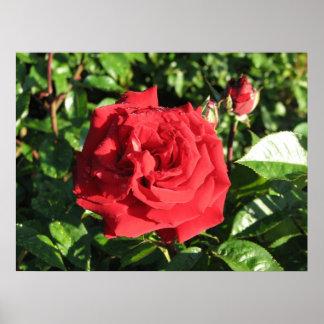 Ingrid Bergman Hybrid Tea Rose 032 Poster