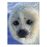 Innocence Seal Pup Baby postcard