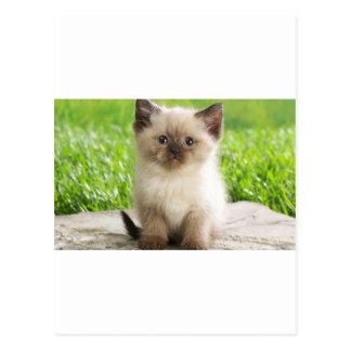 Innocent Ragdoll Kitten Post Card