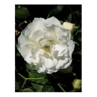Innocent White Rose Postcard
