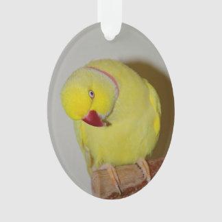 Inquiring Lutino Indian Ringneck Parakeet
