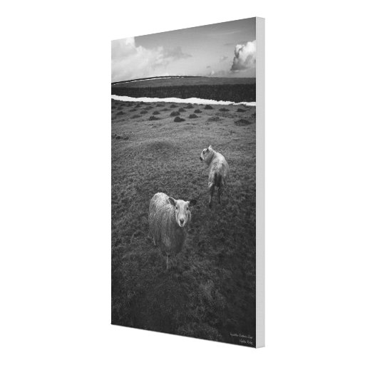 Inquisitive Dartmoor Sheep - wrapped canvas Stretched Canvas Prints