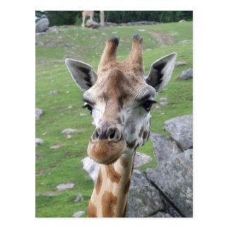 Inquisitive Giraffe Postcard