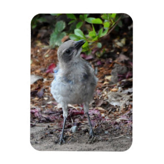 Inquisitive Young Scrub Jay Magnet