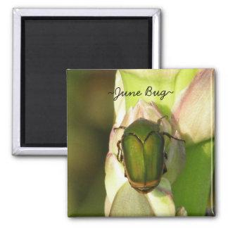 Insecto de junio imán para frigorifico