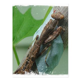 Insecto de la mantis religiosa tarjetas postales