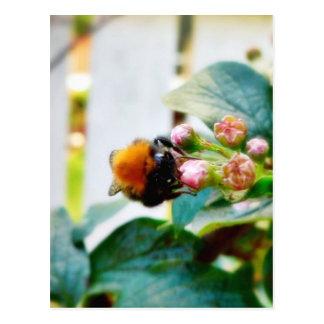 Insecto del abejorro postales