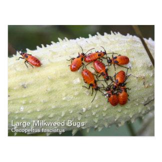 Insecto grande del Milkweed Postales