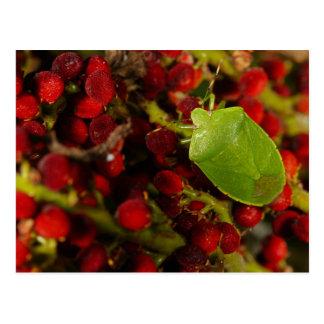 Insecto verde del hedor en Sumac Tarjetas Postales
