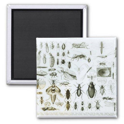 Insectos de la entomología iman para frigorífico