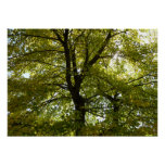 Inside a Yellow Maple Tree Autumn Nature Poster