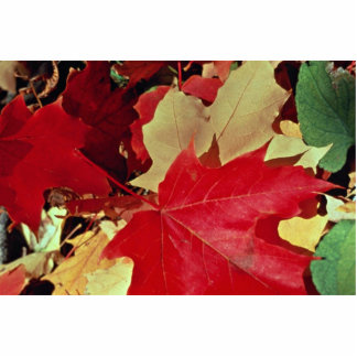 Inspiring colorful maple leaves photo cut out