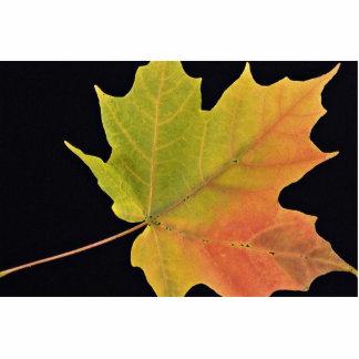 Inspiring Sugar maple leaf Cut Out