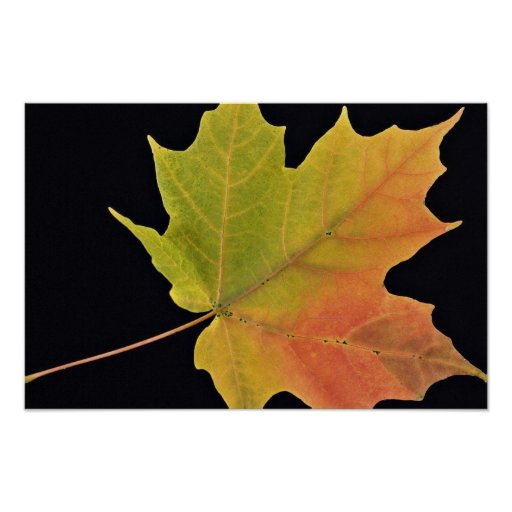 Inspiring Sugar maple leaf Poster