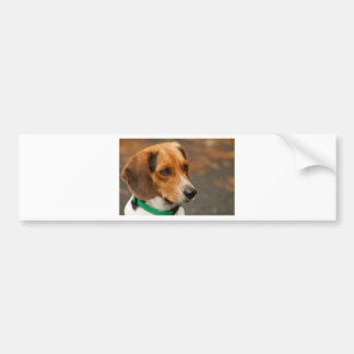 Intelligent Focussed Beagle Hunting Dog Bumper Sticker