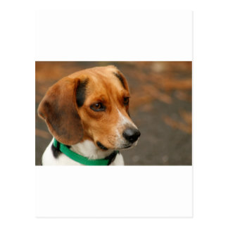 Intelligent Focussed Beagle Hunting Dog Postcard