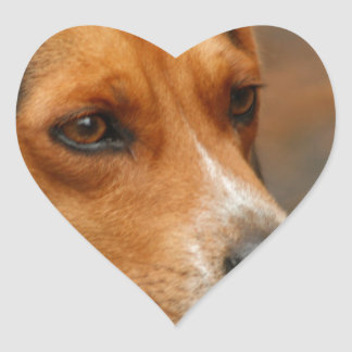 Intelligent Focussed Beagle Hunting Dog Heart Stickers