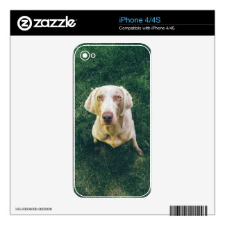 Intense Weimaraner iPhone 4S Skins