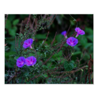 Intense Wild Morning Glory Flowers Poster