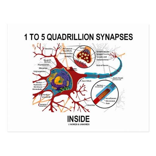 Interior de 1 a 5 sinapsis del cuatrillón (neurona postales