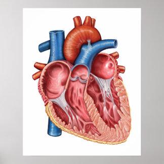 Interior del corazón humano póster
