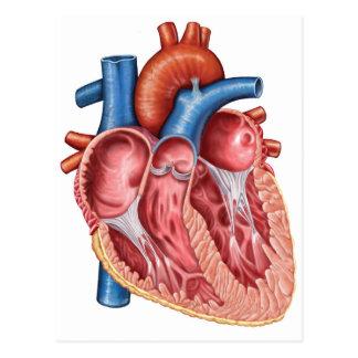 Interior del corazón humano tarjetas postales