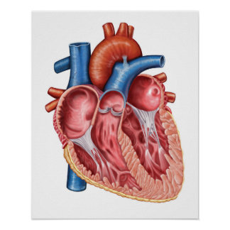Interior Of Human Heart Poster