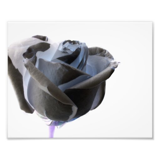 Inverted Black and White Rose Photo