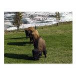 Invierno del bisonte de las postales del parque na