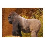 Invitación de la foto del gorila del Silverback