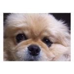 Invitación de los perritos de Pekingese