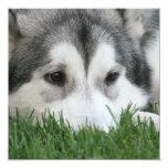 Invitación del husky siberiano
