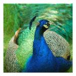 Invitaciones coloridas del pavo real invitacion personal