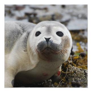 """Invitaciones de cría de foca invitación 5.25"""" x 5.25"""""""