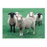 Iowa Sheep Postcard
