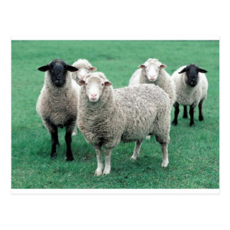 Iowa Sheep Postcard