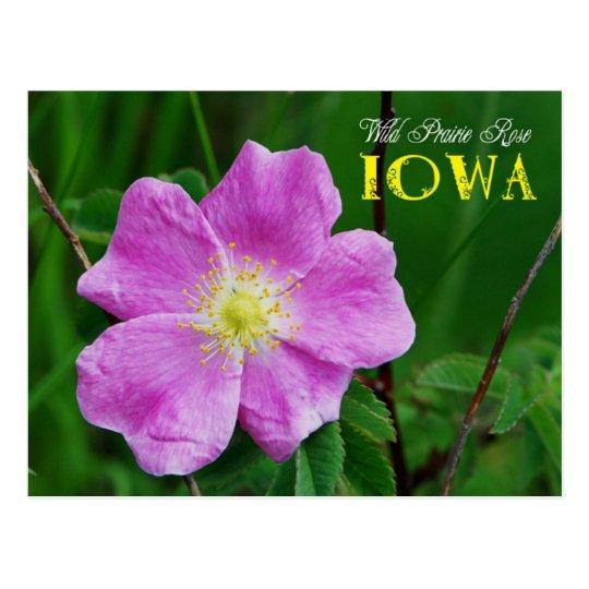 Iowa State Flower: Wild Prairie Rose Postcard | Zazzle.com
