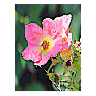 Iowa Wild Rose Postcard