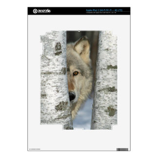 iPad 3 skin with photo of gray wolf in birch trees